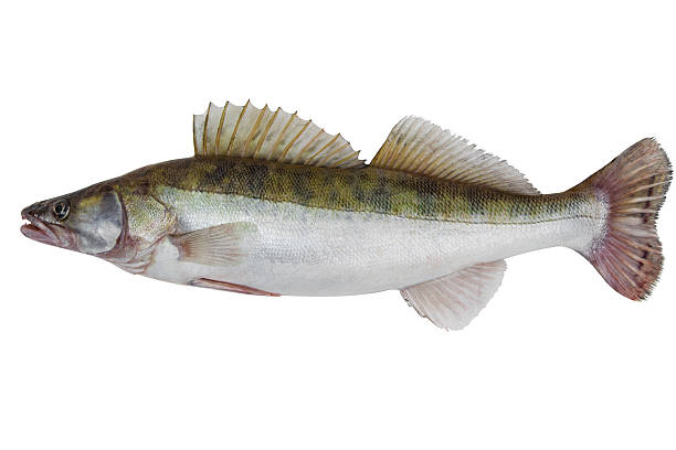 Male zander Large fresh pike perch isolated on a white background pike fish stock pictures, royalty-free photos & images