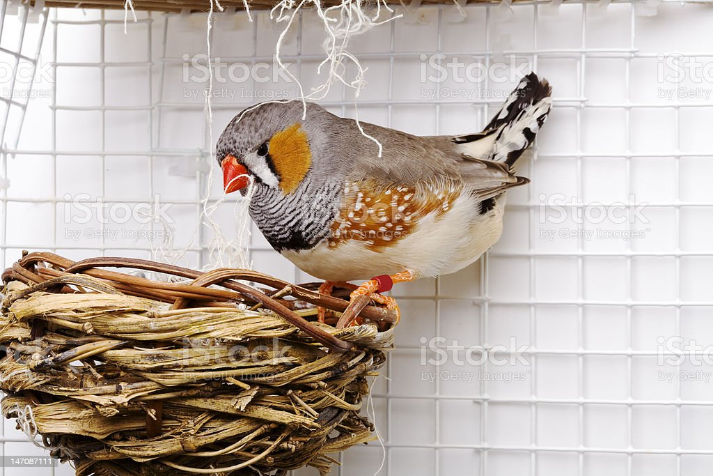 Male Zebra Finch stock photo
