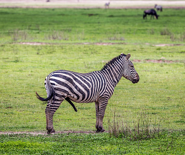 Male Zebra looking for female stock photo