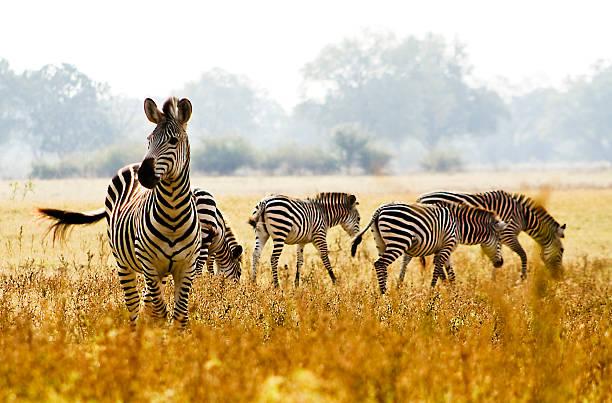 männliche zebra schutz seiner herde - safari tiere stock-fotos und bilder