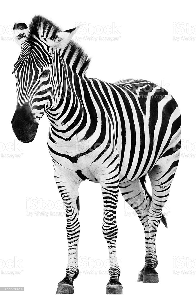 Male zebra standing alone on a white background stock photo
