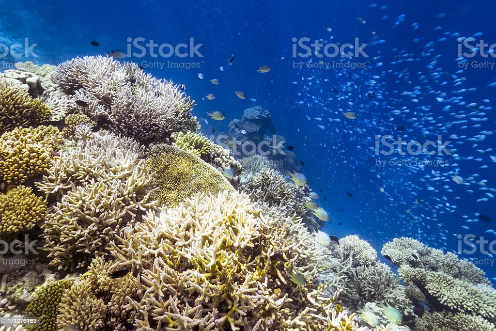 Maledives Coral Reef royalty-free stock photo