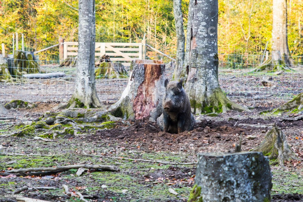 Males Wild-boar fighting in a forest stock photo