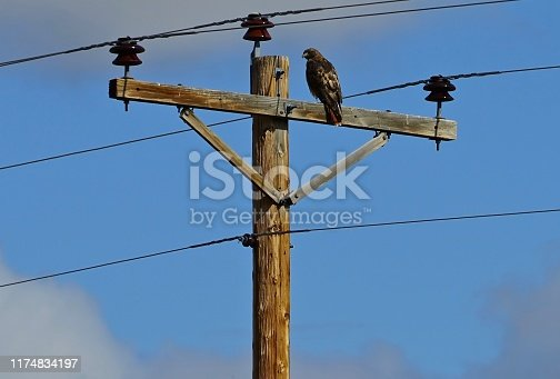 Southeast Oregon's Northern Great Basin. Malheur National Wildlife Refuge. Adult Red-Tailed Hawk.