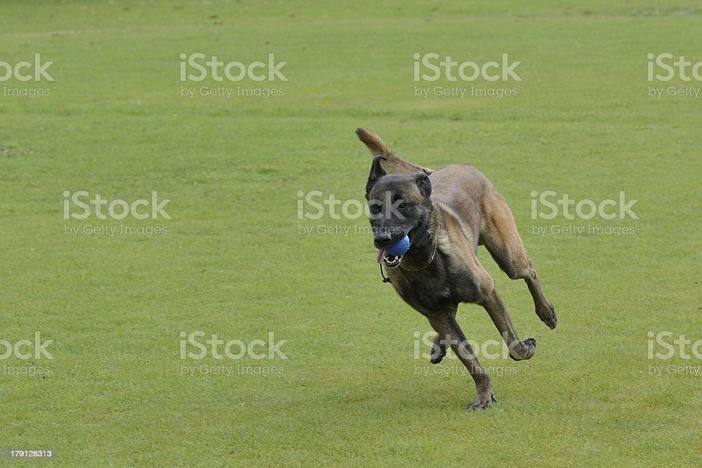 Malinois, Belgian Shepherd, training royalty-free stock photo