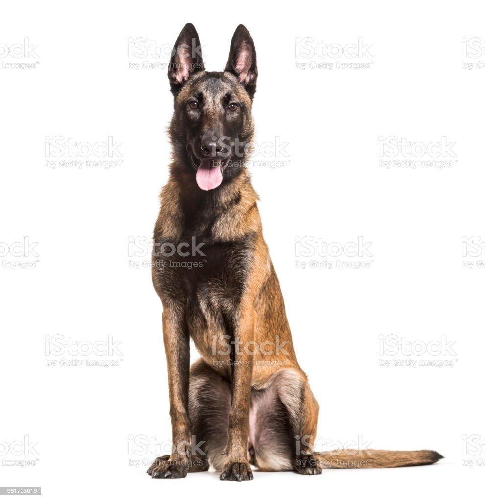 Malinois dog, 1 year old, sitting against white background stock photo