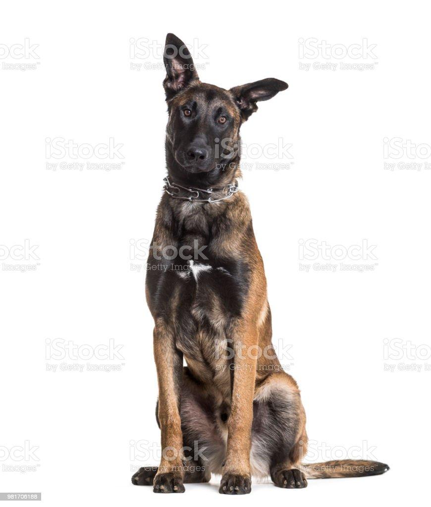 Malinois dog, 7 months old, sitting against white background stock photo