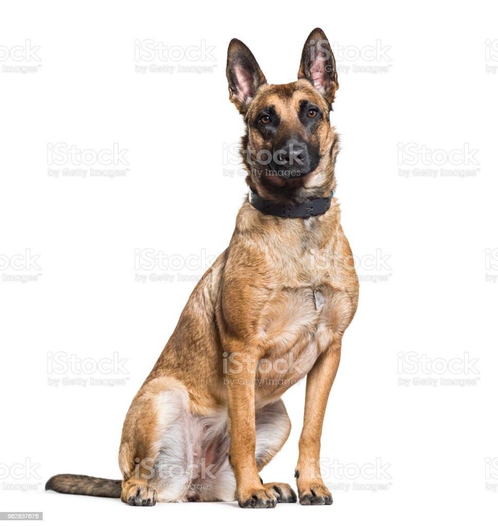 Malinois dog sitting against white background stock photo