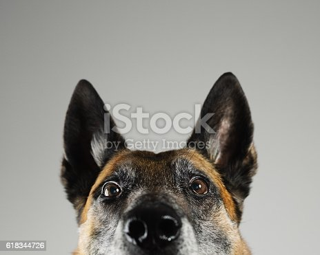 Portrait of a beautiful Malinois belgian shepherd posing in front of the camera. Studio horizontal color image from a DSLR. Sharp focus on eyes.