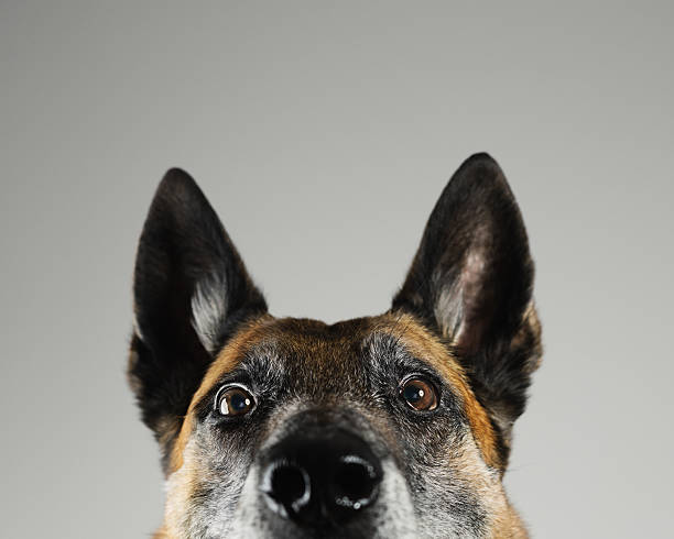 Malinois dog studio portrait stock photo