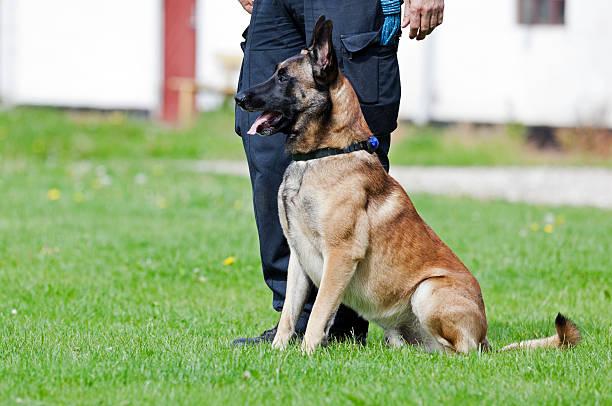 malinois police dog handler und. - dressierter hund stock-fotos und bilder