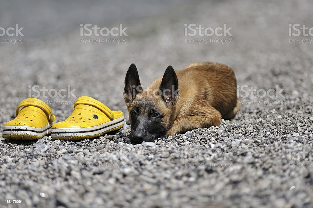 Malinois puppy, pebbles and yellow plasic beach shoes royalty-free stock photo