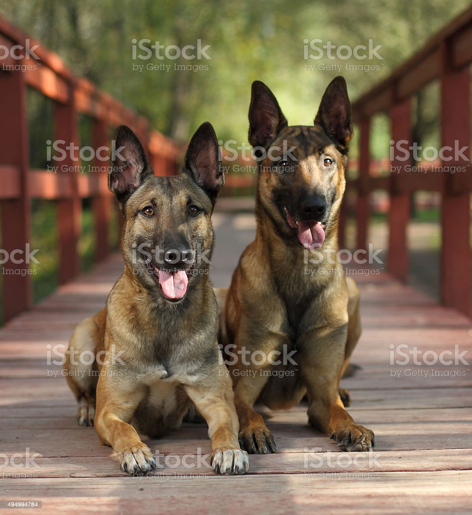 Malinois Shepherd dogs stock photo