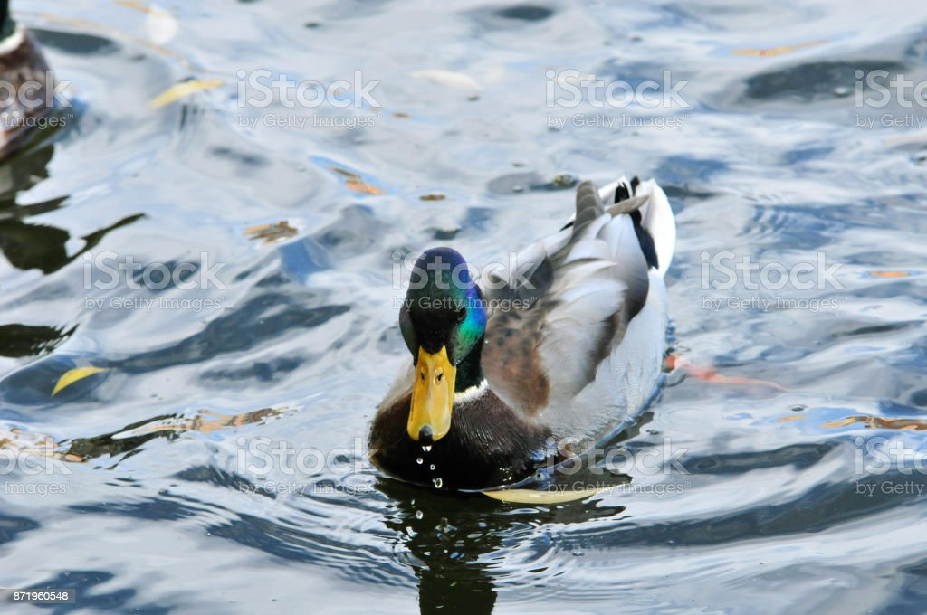 Mallard - a bird from the family of ducks detachment of waterfowl. The most famous and common wild duck. Male duck. Drake. stock photo