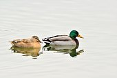 Gadwall (Anas strepera). Moscow, Russia.