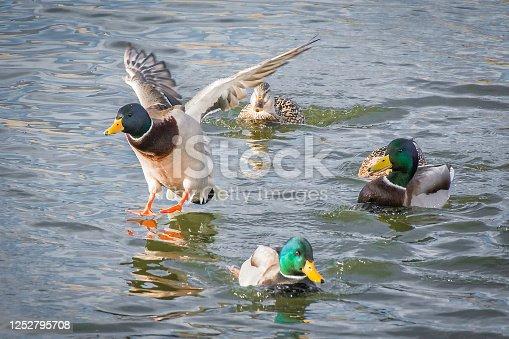 Mallard duck preparing for landing