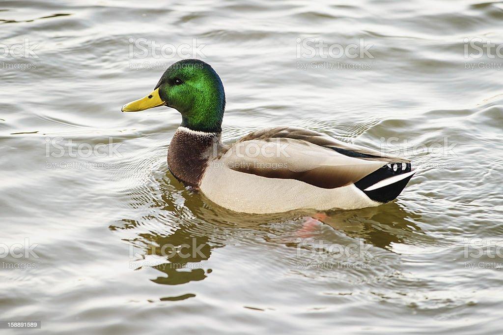 Mallard drake in water royalty-free stock photo