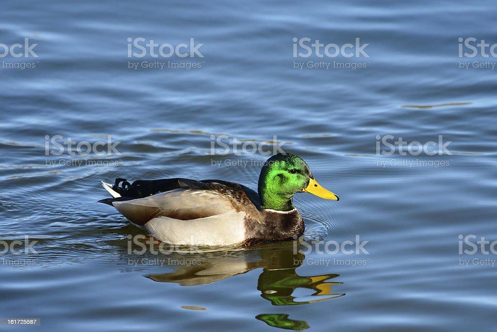 Mallard drake profile royalty-free stock photo