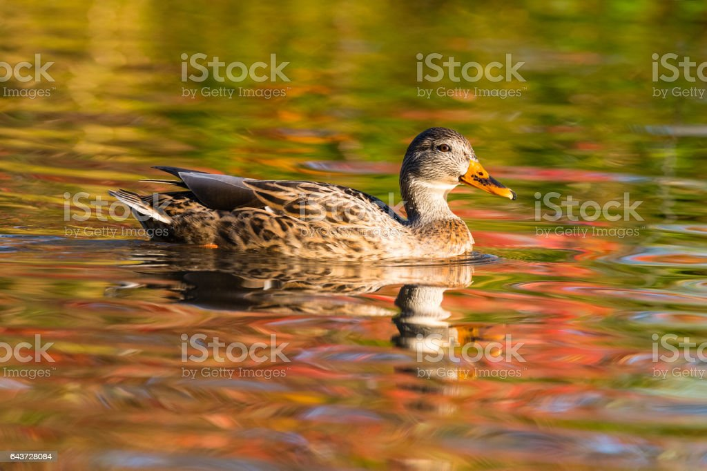 Mallard duck, Anas platyrhynchos, female bird in fall stock photo