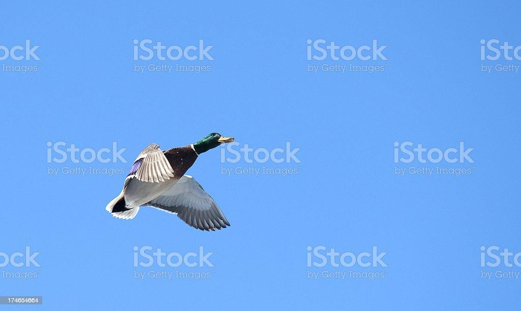 Mallard duck, Anoka, MN stock photo