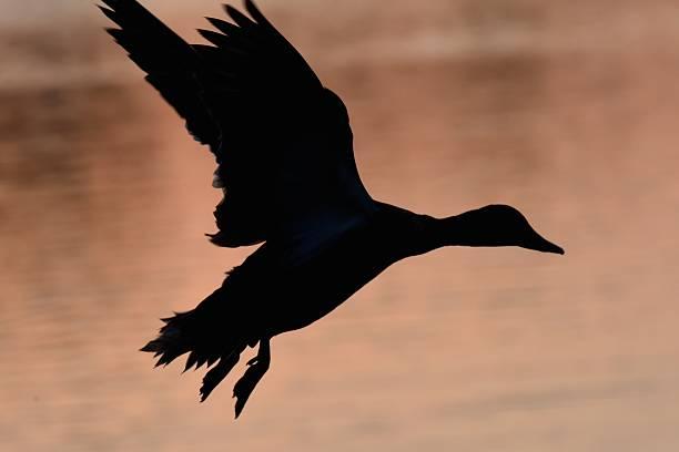 Mallard duck at sunrise stock photo