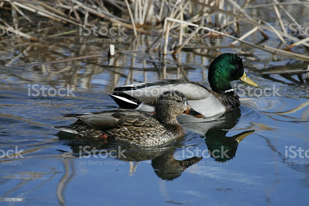 Mallard Duck Couple royalty-free stock photo