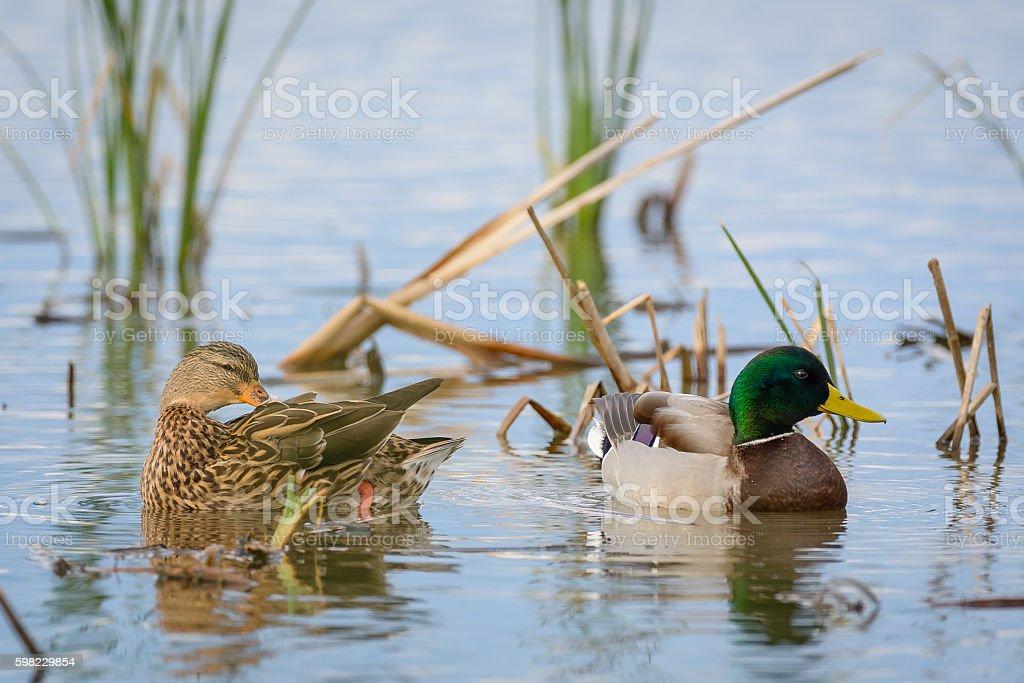Canard colvert Couple - Photo