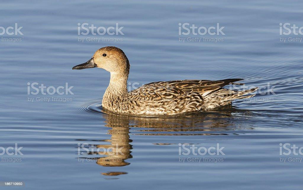 Mallard Duck Female royalty-free stock photo