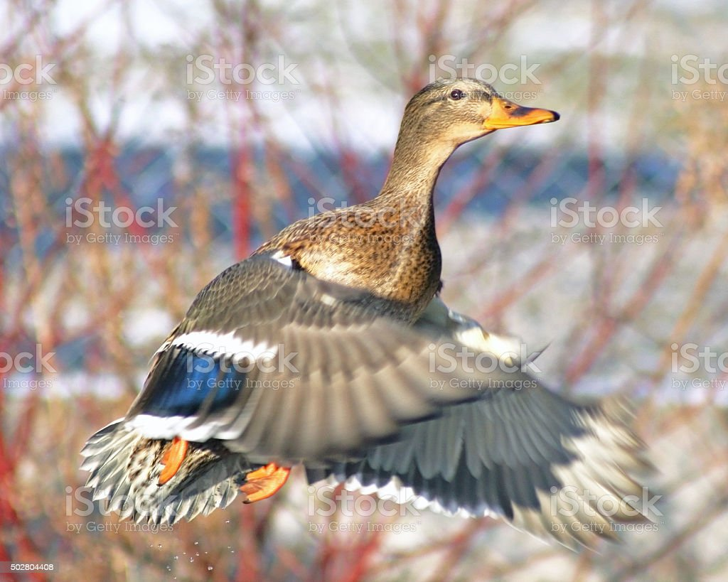 Mallard duck female taking off during hunting season stock photo