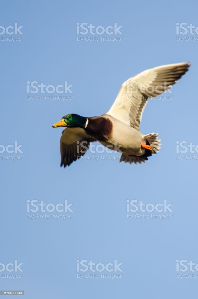Mallard Duck Flying In A Blue Sky Stock Photo More Pictures Of