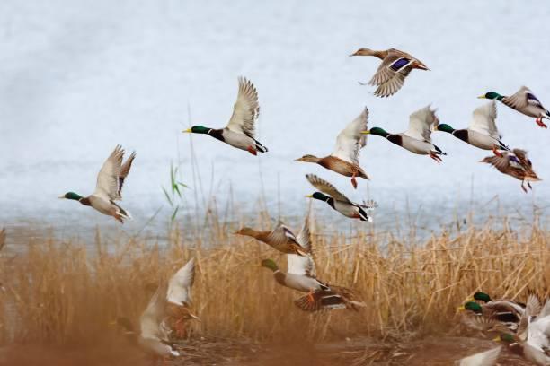 Mallard duck flying over the lake Mallard duck flying over the lake duck bird stock pictures, royalty-free photos & images