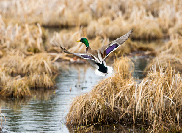 Mallard Duck Flying A male Mallard duck in flight. lake waterfowl stock pictures, royalty-free photos & images