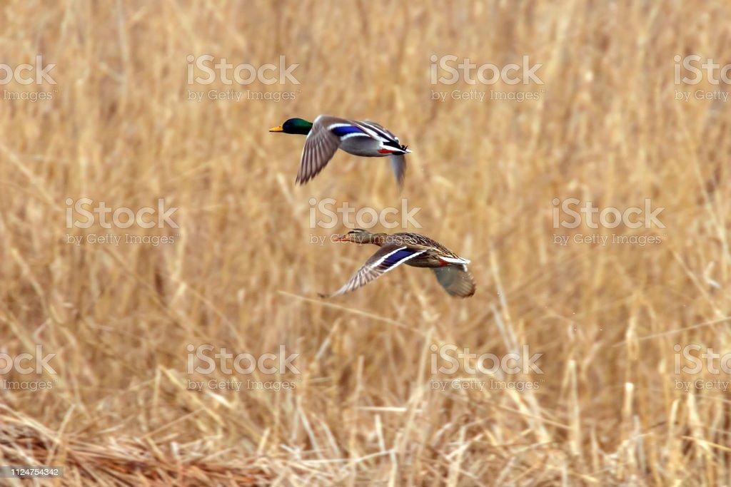Stockente im Flug, Ente Jagdsaison – Foto