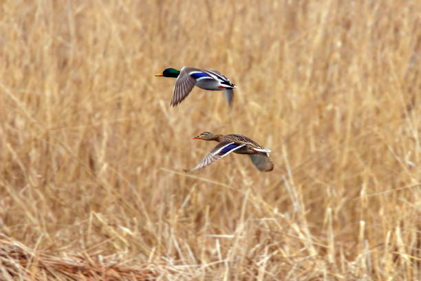 Mallard duck in flight, duck hunting season Mallard duck in flight, duck hunting season drake male duck stock pictures, royalty-free photos & images