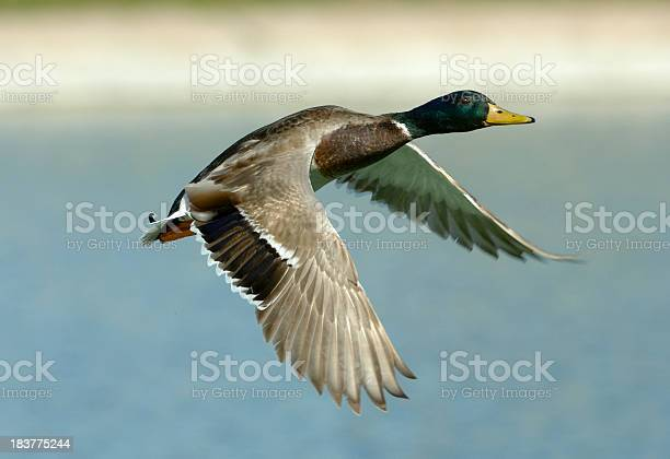 Colorful male duck flying across a body of water. Focus is on the eye. Limited depth of field enhances the sharpness of the image.
