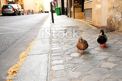 Paris 7 : Mallard Duck on the sidewalk, during pandemic Covid 19 in Europe. Streets are empty There are no people and no cars because people must stay at home and be confine. Schools, restaurants, stores, museums... are closed. Paris, in France. March 30, 2020.