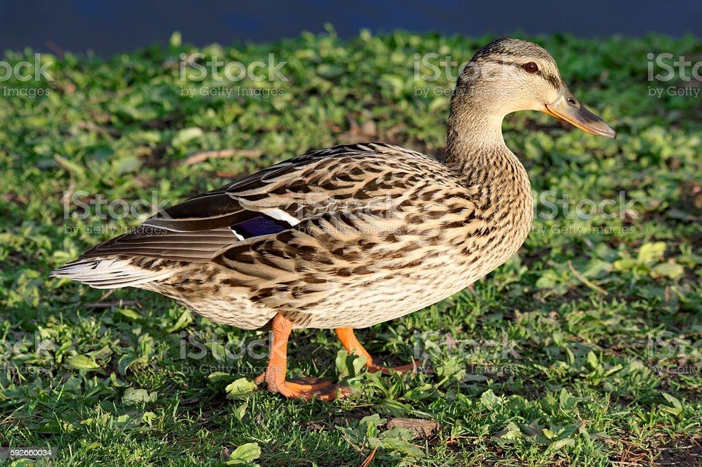 Mallard Duck in the Grass stock photo