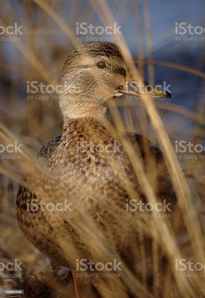 Mallard duck in the shoreline reeds. stock photo