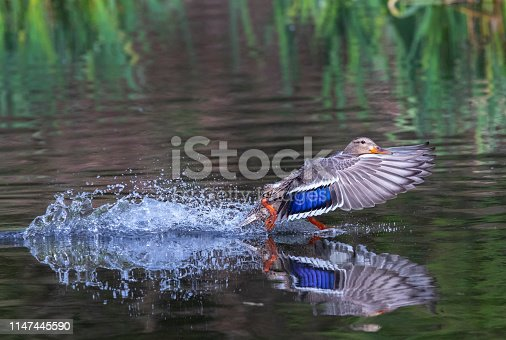 Female Mallard duck landing on a pond.