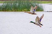 Mallard duck male drake and female hen flying over wetlands