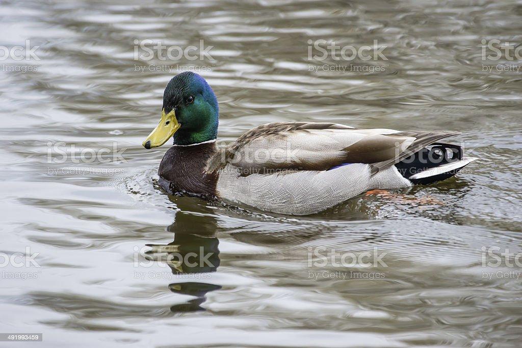 Mallard Duck Male Swimming royalty-free stock photo