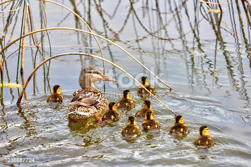 Mallard duck mother leading her newborn baby ducklings in the pond, swimming among the reeds in the water.