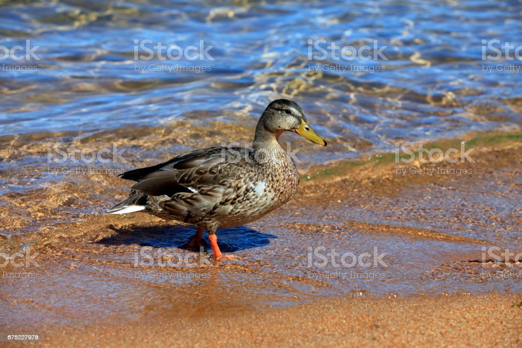 Mallard duck on the lake Tahoe royalty-free stock photo
