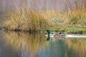 Mallard duck pair - male and female
