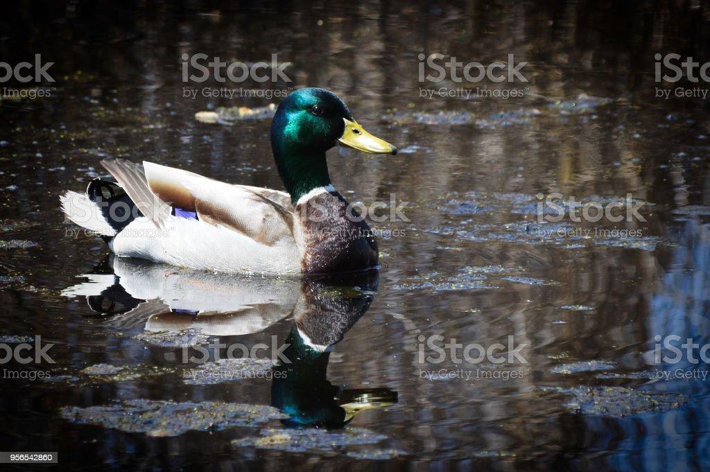Stockente - Lizenzfrei Ente - Wasservogel Stock-Foto