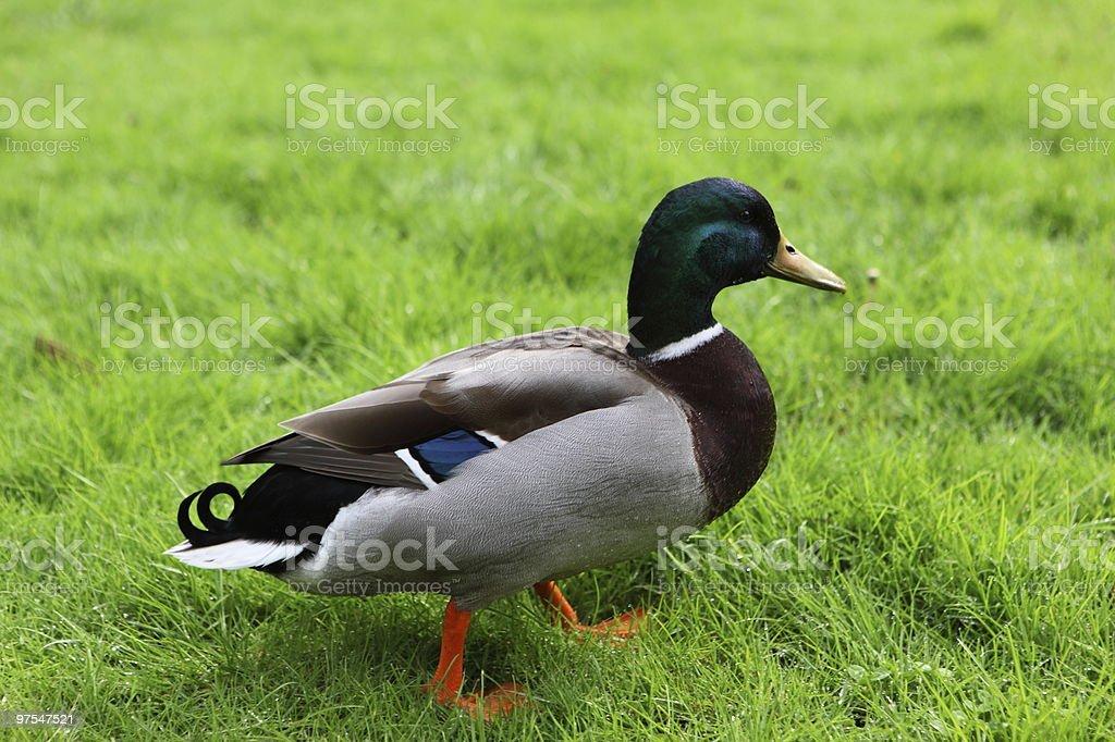 Canard colvert photo libre de droits