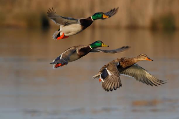 Mallard duck (Anas platyrhynchos) Mallard duck (Anas platyrhynchos) duck bird stock pictures, royalty-free photos & images