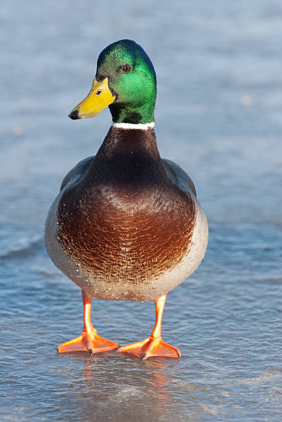 Mallard Duck walking in ice A Mallard Duck standing on a frozen lake in warm evening light drake male duck stock pictures, royalty-free photos & images