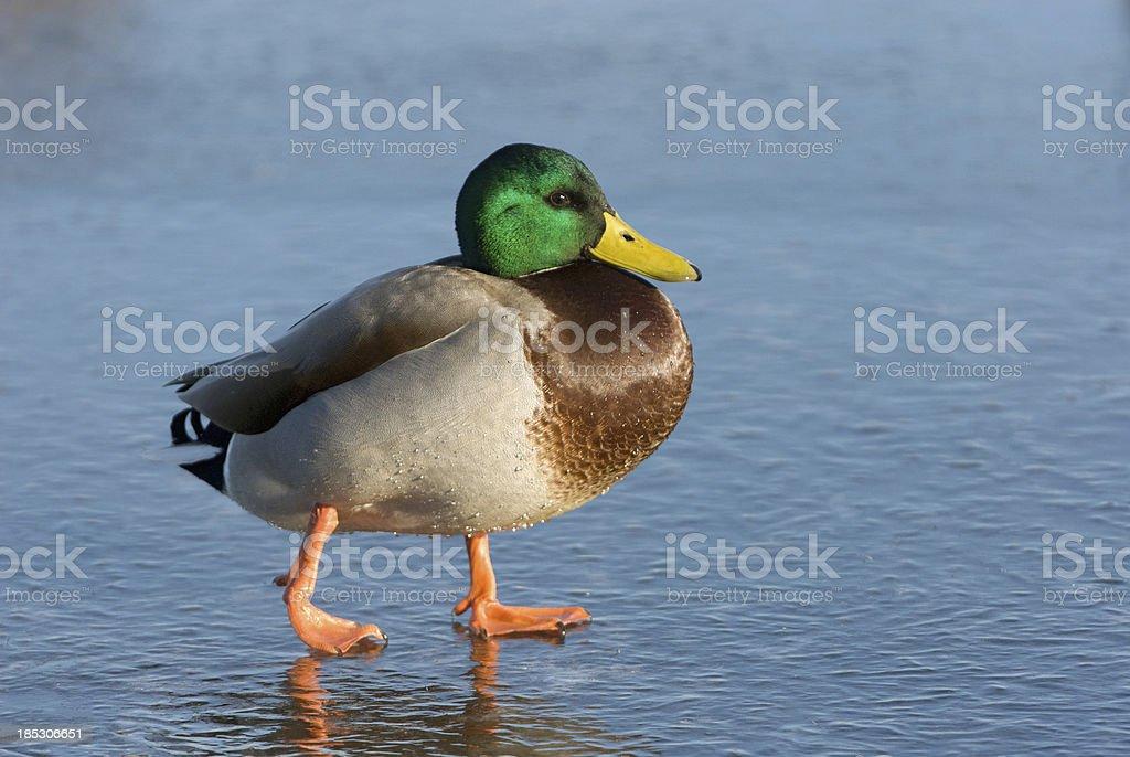 Mallard Duck walking in ice stock photo