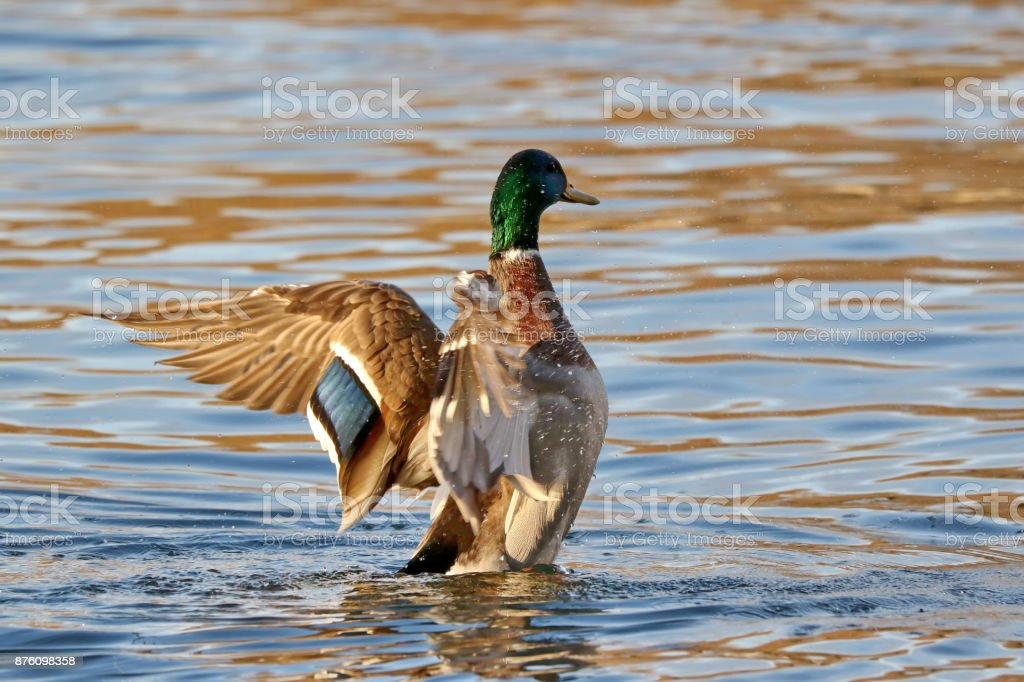 Mallard Duck Wing Flap stock photo